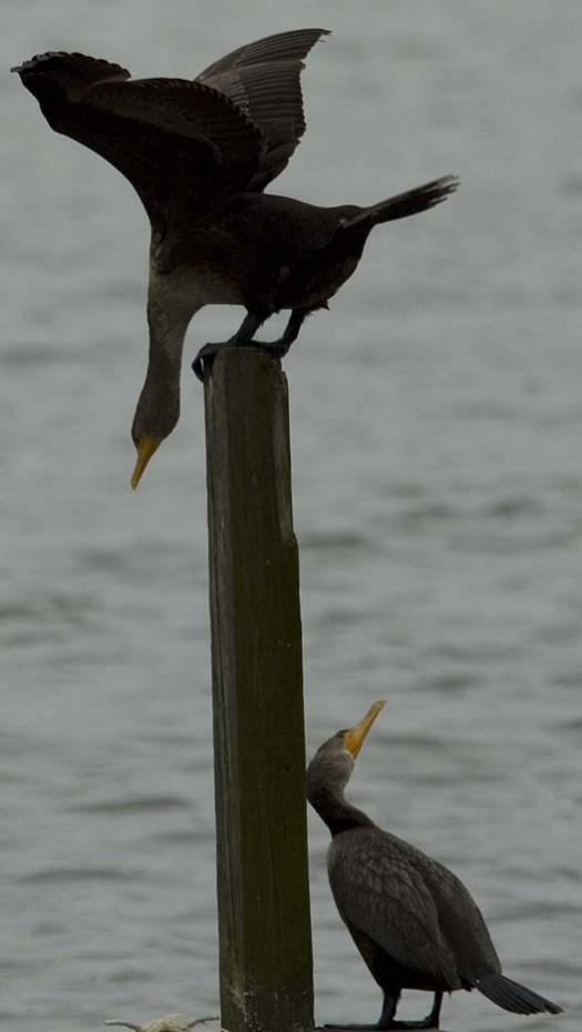 1-17-2008-sunrise-cormorants-snow_5754copy1.jpg