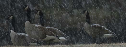 1-17-2008-sunrise-cormorants-snow_5768copy3.jpg