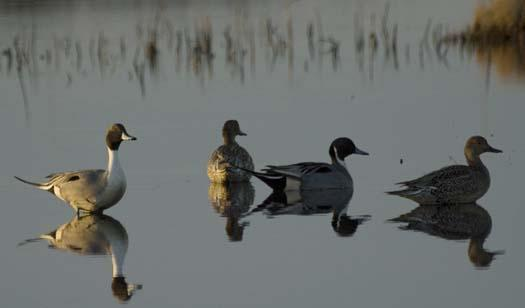 1-31-2008-icy-creek-pintail-heron-blackbird-fowler_6955copy1.jpg