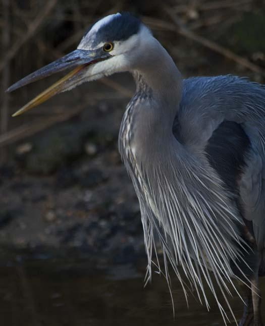 1-31-2008-icy-creek-pintail-heron-blackbird-fowler_7190copy1.jpg