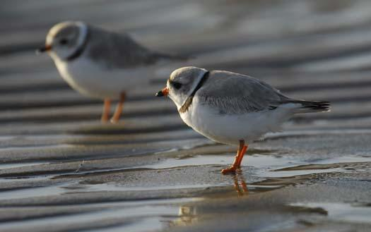 20080330_piping-plover-3-30-2008_1076.jpg