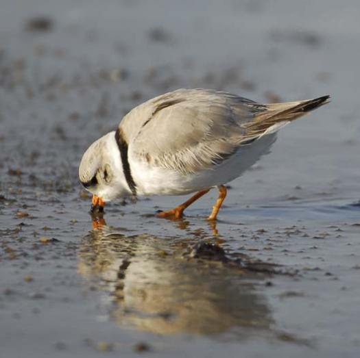 20080330_piping-plover-3-30-2008_1352.jpg