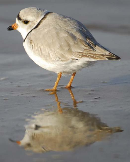 20080330_piping-plover-3-30-2008_1424.jpg