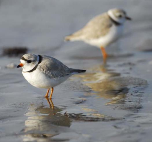 20080330_piping-plover-3-30-2008_1431.jpg