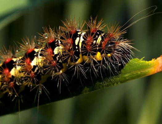 Caterpillar. Dragonflies 6.25.1