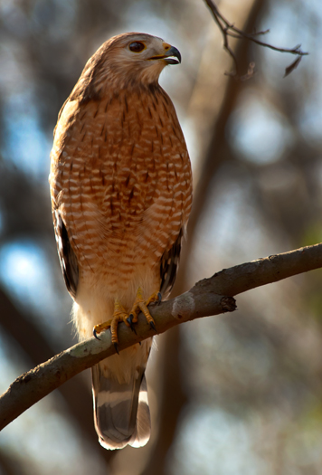 I found this Red-shouldered Hawk in North Carolina last week posing patiently as I captured a nice portrait.