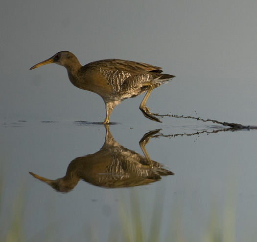 Clapper Rails at Fowler Beach a.m. 5.26