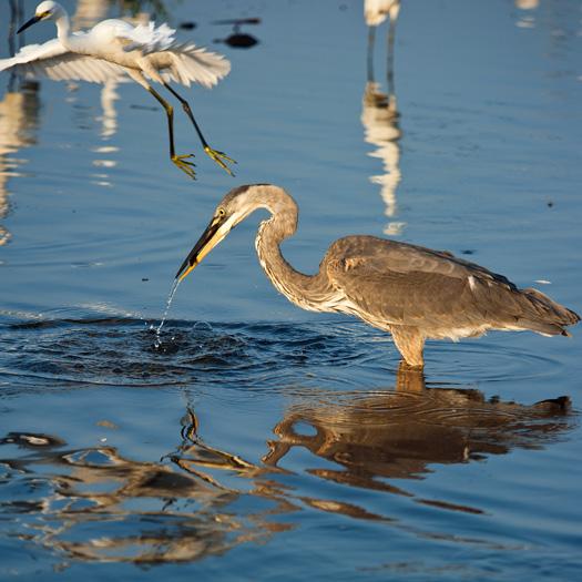 Egrets Etc. Prime Hook 8.4.2012_8779