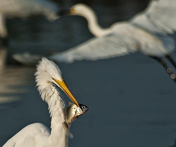 Egrets Etc. Prime Hook 8.4.2012_8814.1