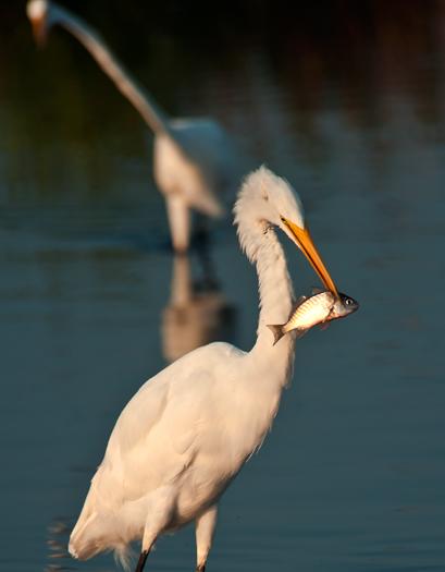 Egrets Etc. Prime Hook 8.4.2012_8822