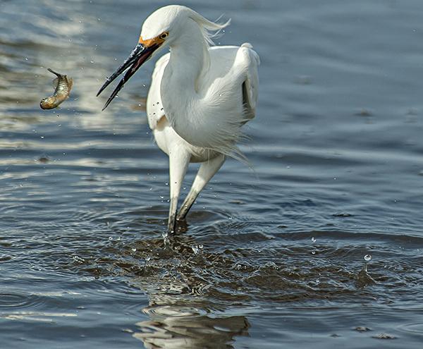 Egrets Prime Hook 4.14.2014_5239