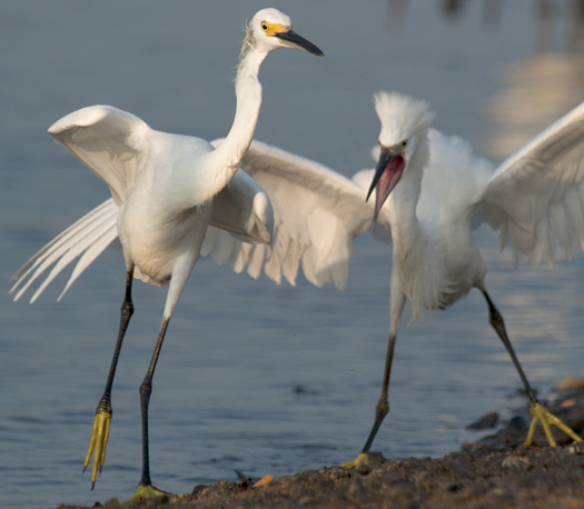 Egrets Terns Prime Hook 8.17.1