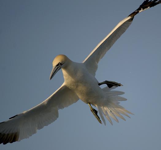 Gannets 1 4.11.2010_041110_5886