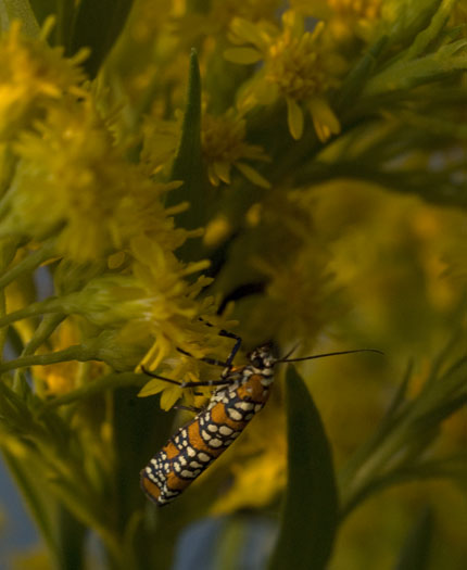 Goldenrod with Insects 10.1.2009_100109_7022