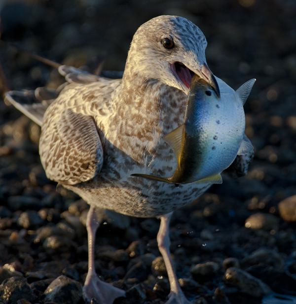 Gulls.PH 10.12.2014_6035