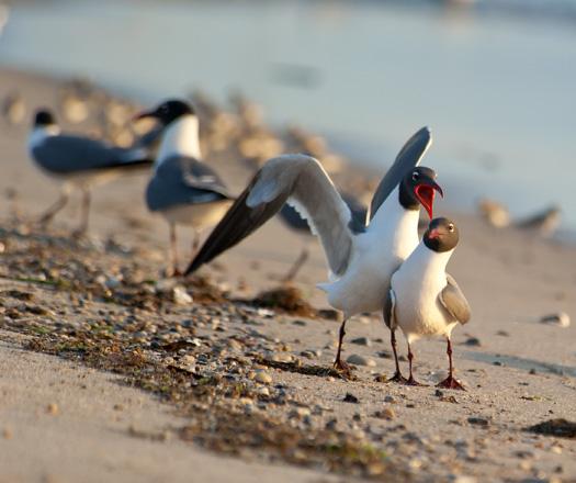 Gulls.Wrackline Prime Hook 5.26.2014_8856