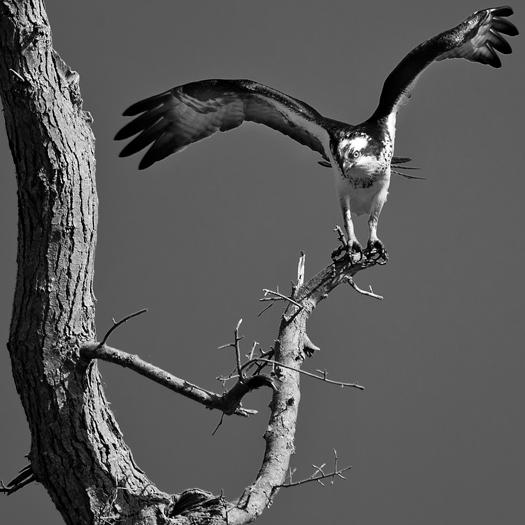 Osprey Prime Hook 4.9.2014_5092