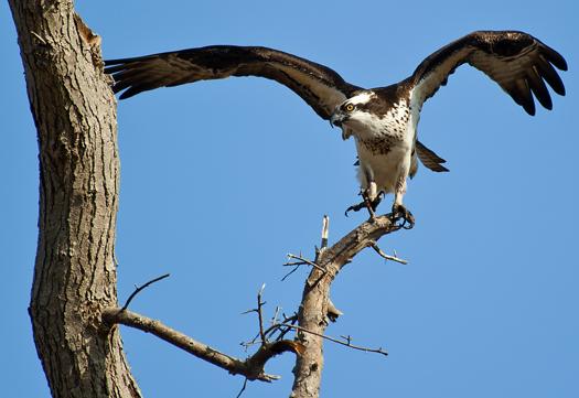 Osprey Prime Hook 4.9.2014_5094