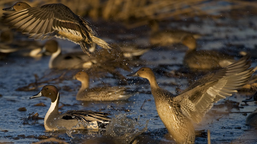 Pintails 1.2.2010_010210_9i83