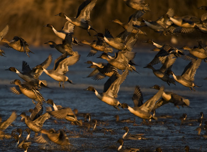 Pintails Sunset 12.29.2009_122909_8983