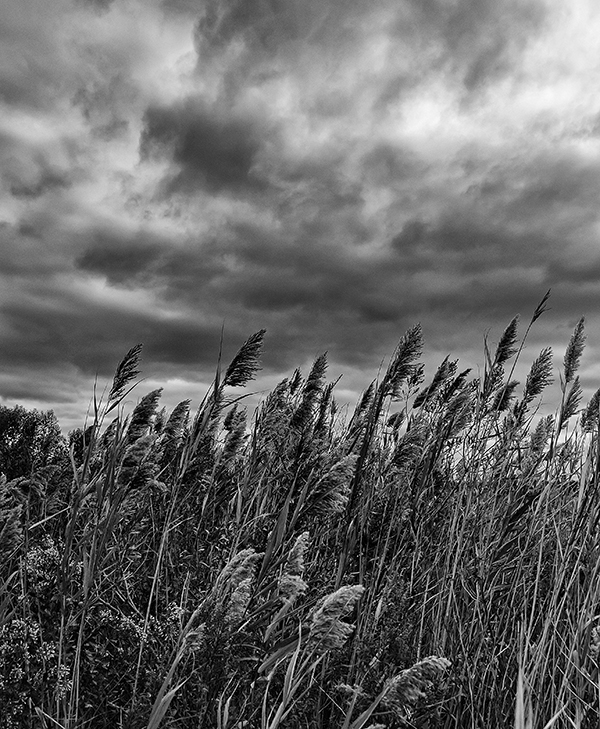 Reeds and Clouds 10.10.2015_0567.b&w