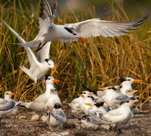 Royal Terns 7-12-2009_071209_4725