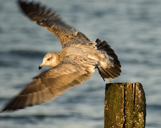 Ruddy Turnstones, Gulls 3-2-2008_9334