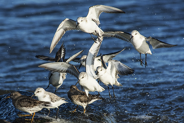 Shorebirds IRInlet 1.31.2015_1360