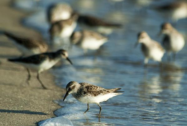 Shorebirds Prine Hook Beach 5.25.2014_7968