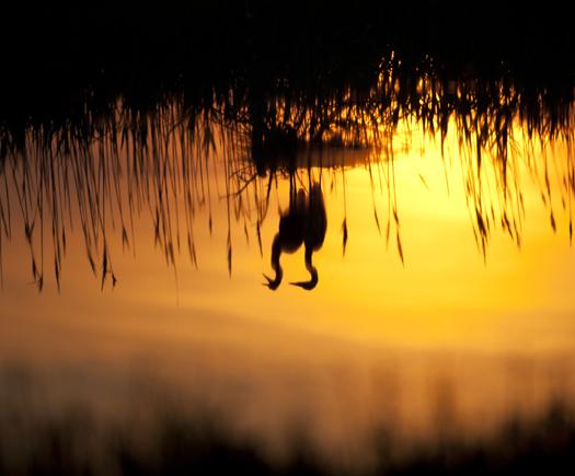 Skimmers. Egrets. 6.22
