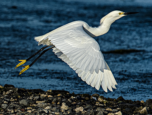 Skimmers.GBH.Egrets 5.20.2015_3986