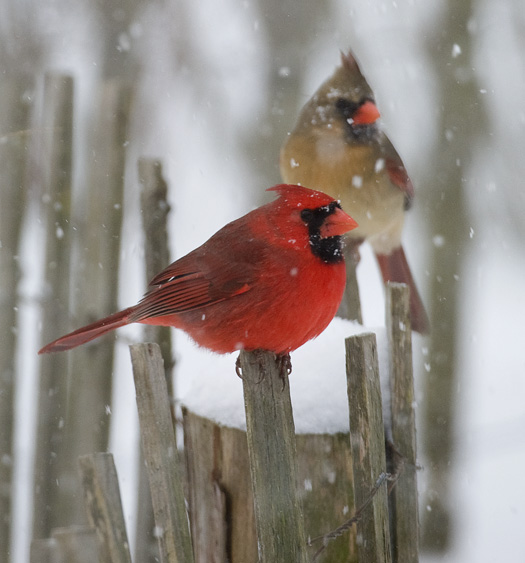 Tony pratt photography cardinals - Pictures of cardinals in snow ...