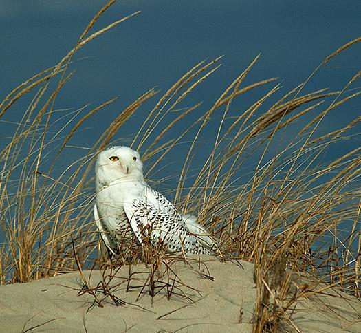 Snowy Owls 12.21.2013_3207