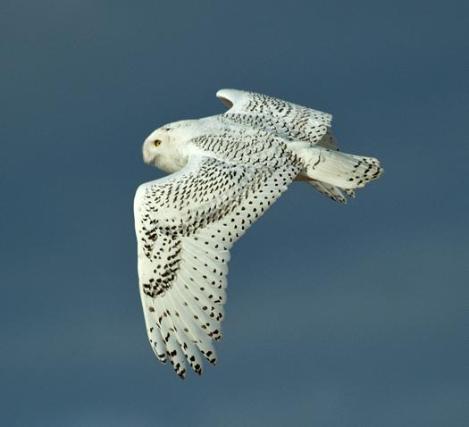 Snowy Owls 12.21.2013_3217