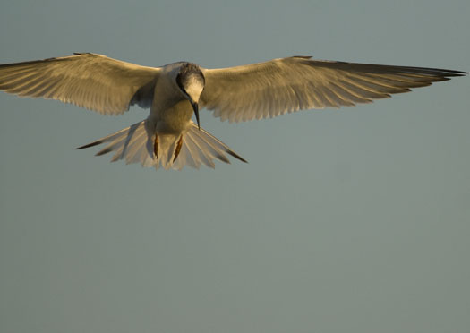 Terns Egrets 10-2-2008_100208_0015