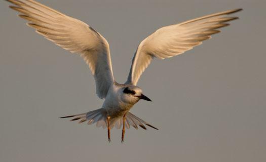 Terns Egrets 10-2-2008_100208_9982