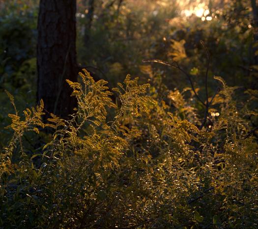 Towers Sunrise. Goldenrod. Thistle. 8.27
