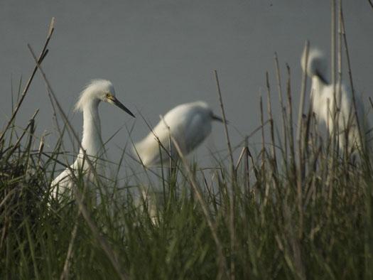 black-bellied-plover-egrets-5-12-2009_051209_9098