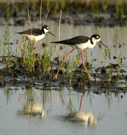 black-necked-stilts-and-mud-turtle-6-15-2009_061509_1997
