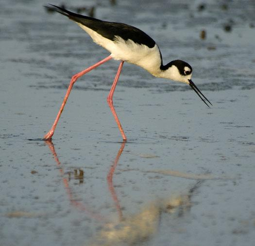 black-necked-stilts-and-mud-turtle-6-15-2009_061509_2041