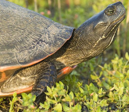 black-necked-stilts-and-mud-turtle-6-15-2009_061509_2062