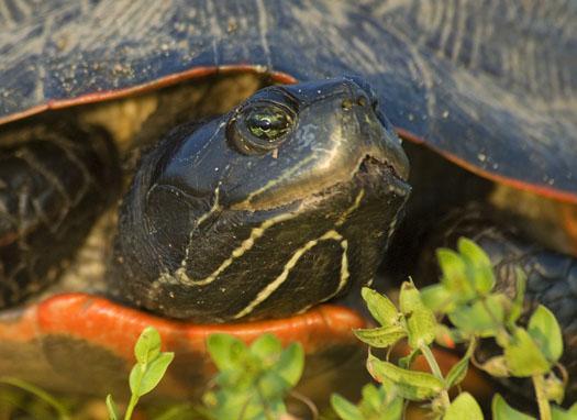 black-necked-stilts-and-mud-turtle-6-15-2009_061509_2070