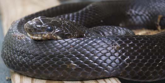 black-snake-5-18-2008_051808_6635.jpg