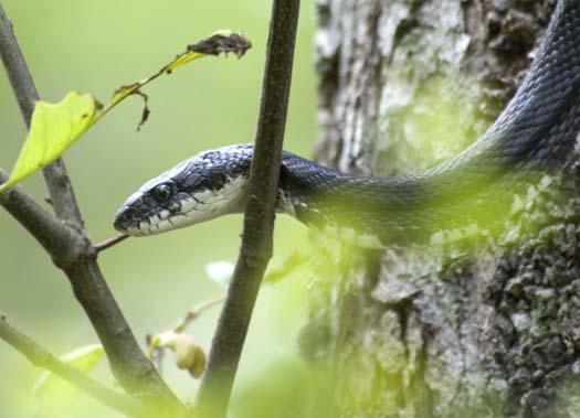 black-snake-5-18-2008_051808_6722.jpg