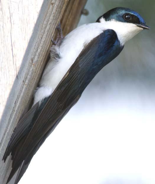 bluebirds-6-6-2008_060608_3270.jpg