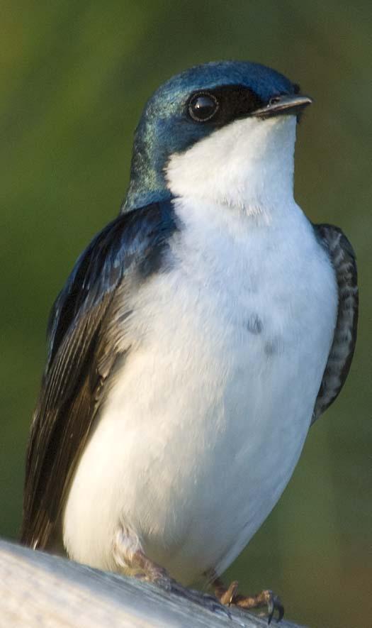 bluebirds-6-6-2008_060608_3345.jpg