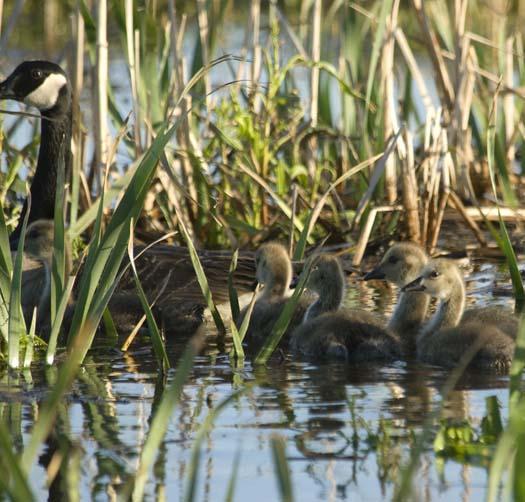 canada-geese-5-17-2008_051708_6544.jpg
