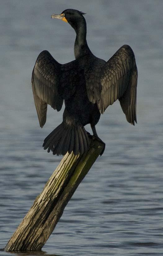 cormorant-5-4-2008_050108_6142.jpg