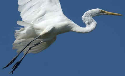 egret-8-12-2008_081208_7962.jpg