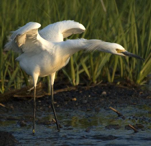 egret-marsh-grass-5-31-2009_053109_0783